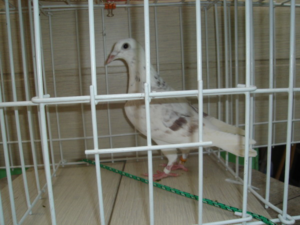 fille cherche pigeon)